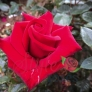 Fondest Love - Hybrid Tea Rose