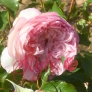 Mill on the Floss - Pink Shrub Rose