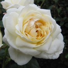 White Eden Rose