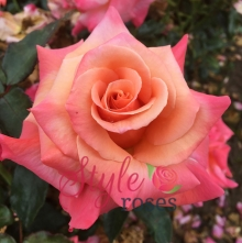 Blooming Marvellous Garden Rose