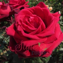 Cupid's Arrow - Red Hybrid Tea Garden Rose