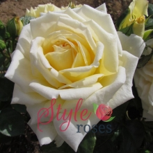 Diamond Wedding Rose