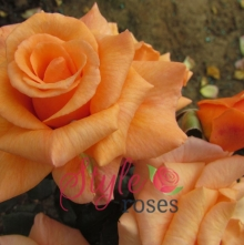 Cherished Pet Rose