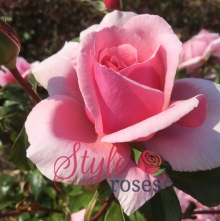 Missing You - Shrub Garden Rose