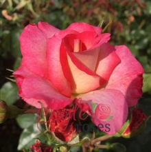 Moon Dancer - Climbing Rose