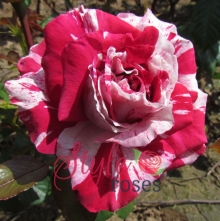 The Bosworth Rose