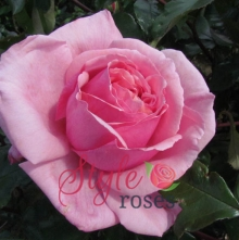 Always Remembered - Hybrid Tea Garden Rose