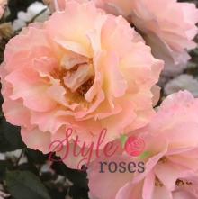 Candy Floss - Floribunda Garden Rose