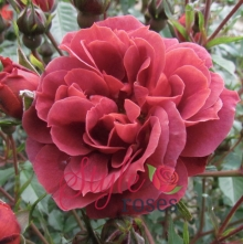 Chocolate Drop - Brown Floribunda Garden Rose