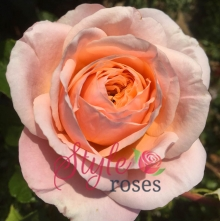 Domaine De Chantilly - Shrub Garden Rose