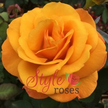 Golden Delicious - Hybrid Tea Garden Rose