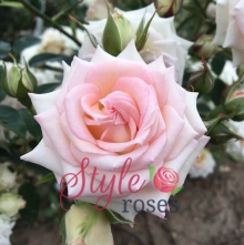 Little Diva - Floribunda Garden Rose