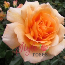 Dad's Delight Rose