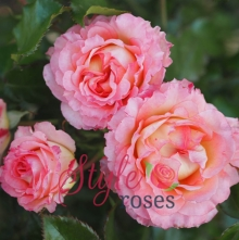 Wonderful Memories - Pink Floribunda Garden Rose
