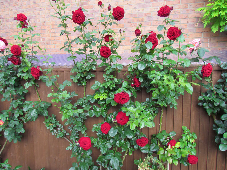 Climbing Roses Style Roses
