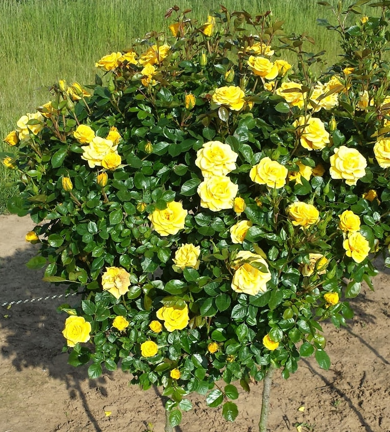 Many Of Our Patio Varieties Are Also Available As Standard Roses, Great For  Pots Or Mid Border. In Terms Of Colour, Numbers Of Blooms, Length Of  Flowering ...